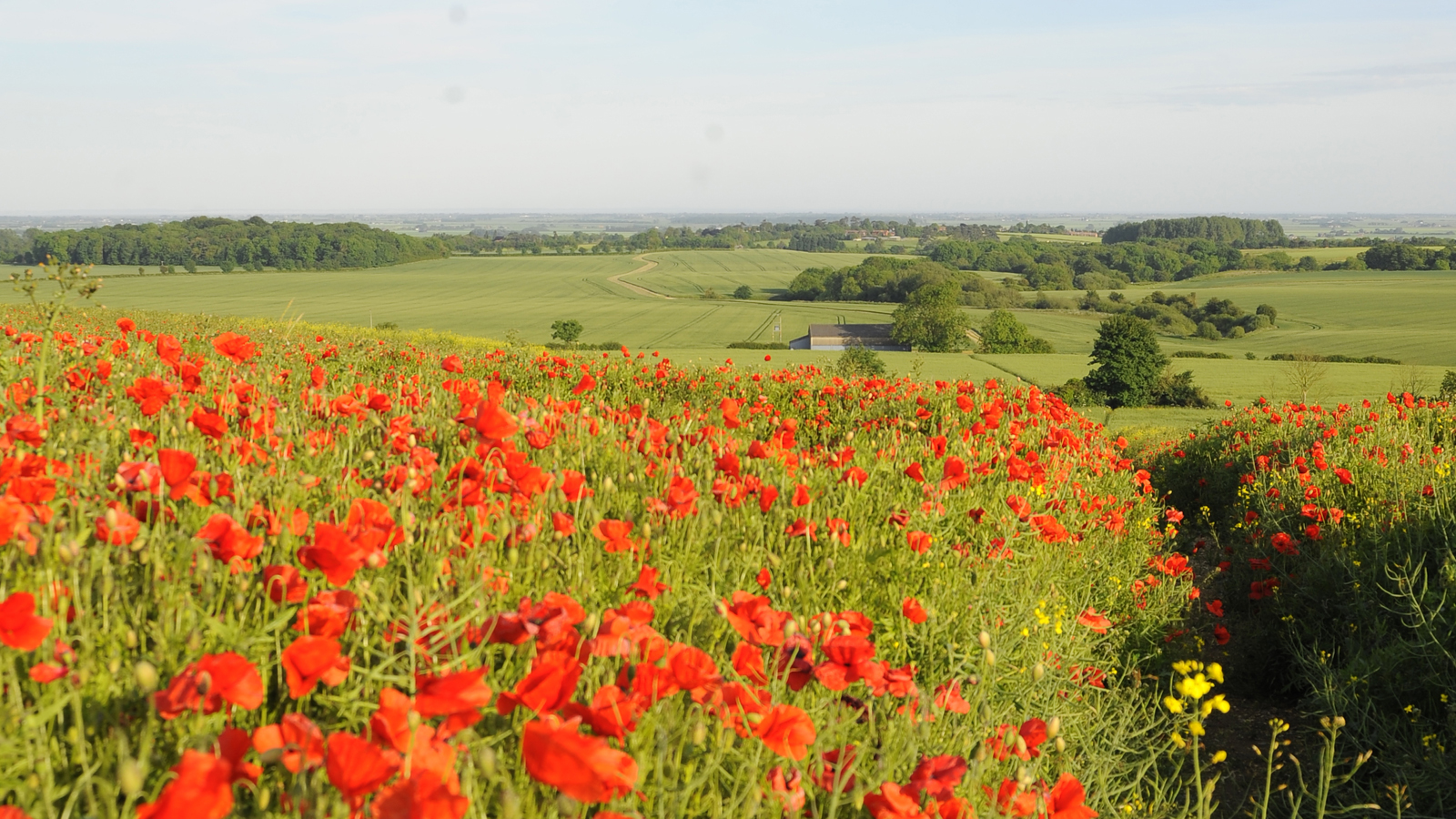 Lincolnshire Wolds Poppy Field